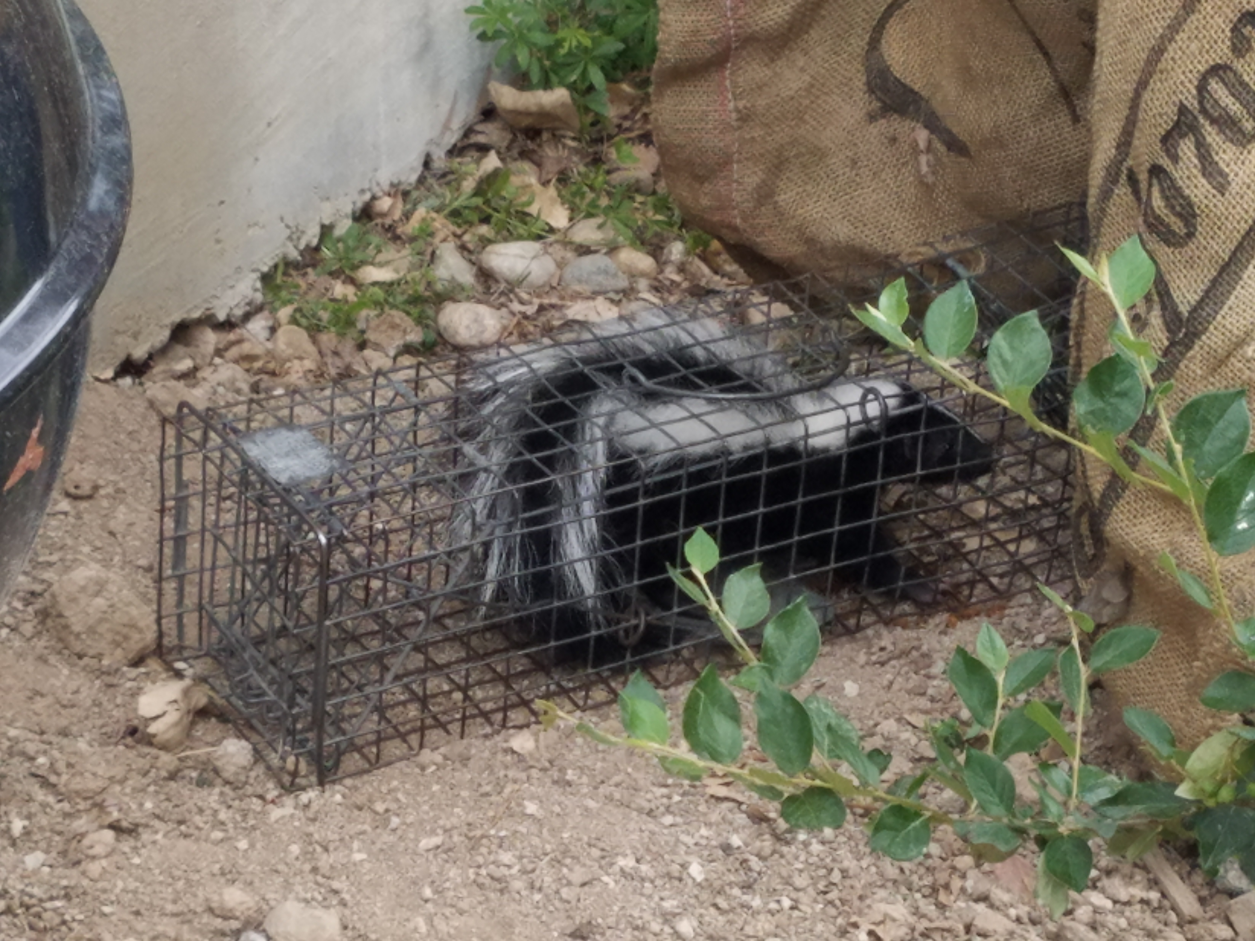 Trapped Skunk