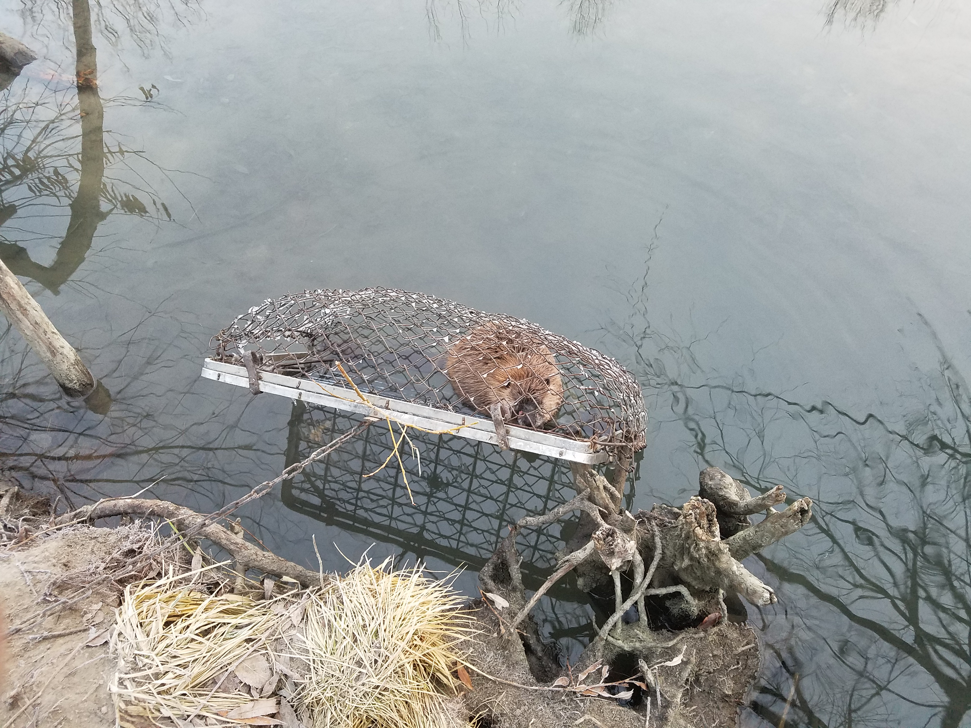 beaver in trap reverbank in water \u2013 animal damage control Beaver in Pushing Water bookmark the permalink